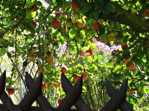 Apfelgarten im Sept.
