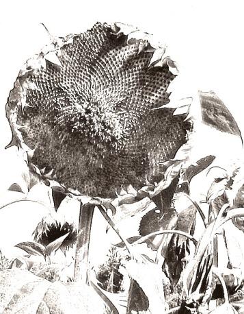 sonnenblumenkopf gezeichnet