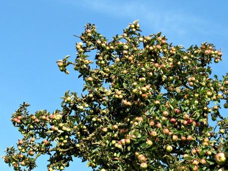 Apfelbaum und Apfelkönig