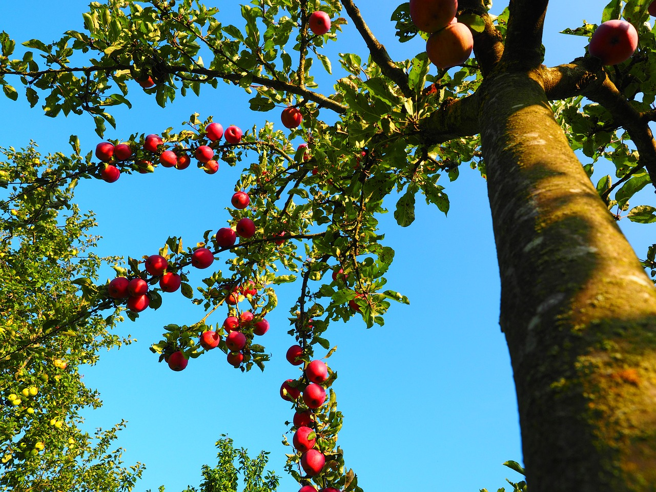 apple-tree-694015_1280